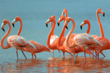 "American Flamingoes -""Just Lawn Ornaments in the US"""